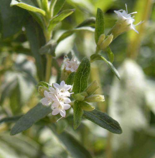 Flor de Stevia